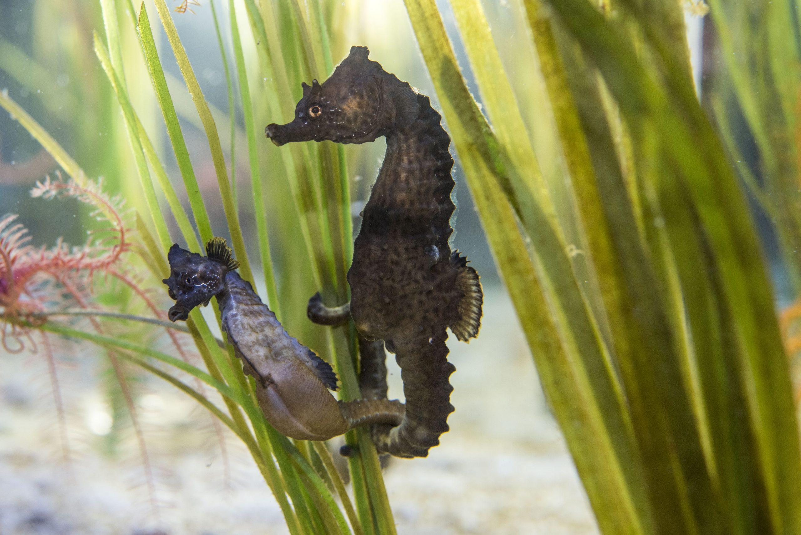 05_Hippocampe-à-museau-court-Hippocampus-hippocampus_M_Dagnino