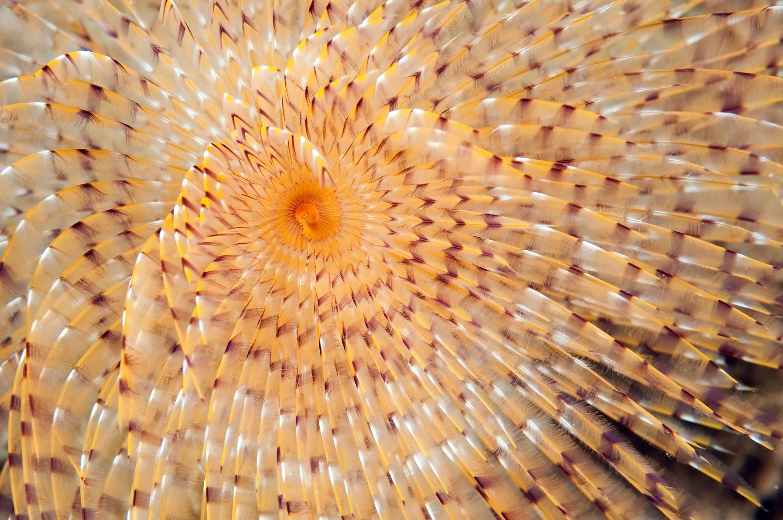 3-1-11 Ver tubicole Spirographe Sabella spallanzanii M. Dagnino