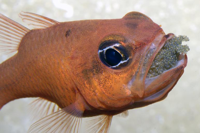 Chez les apogons, la femelle pond les œufs mais c'est le mâle qui les incube jusqu'à l'éclosion des larves.