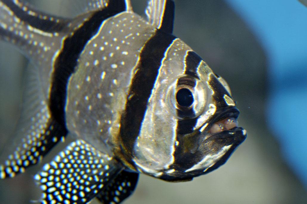 02 Incubation Pterapogon kauderni M. Dagnino