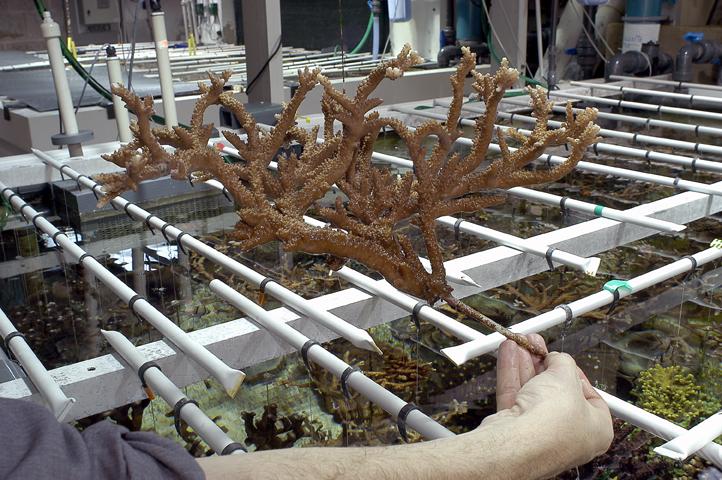 15 Acropores sur jonc Monterey 72 dpi