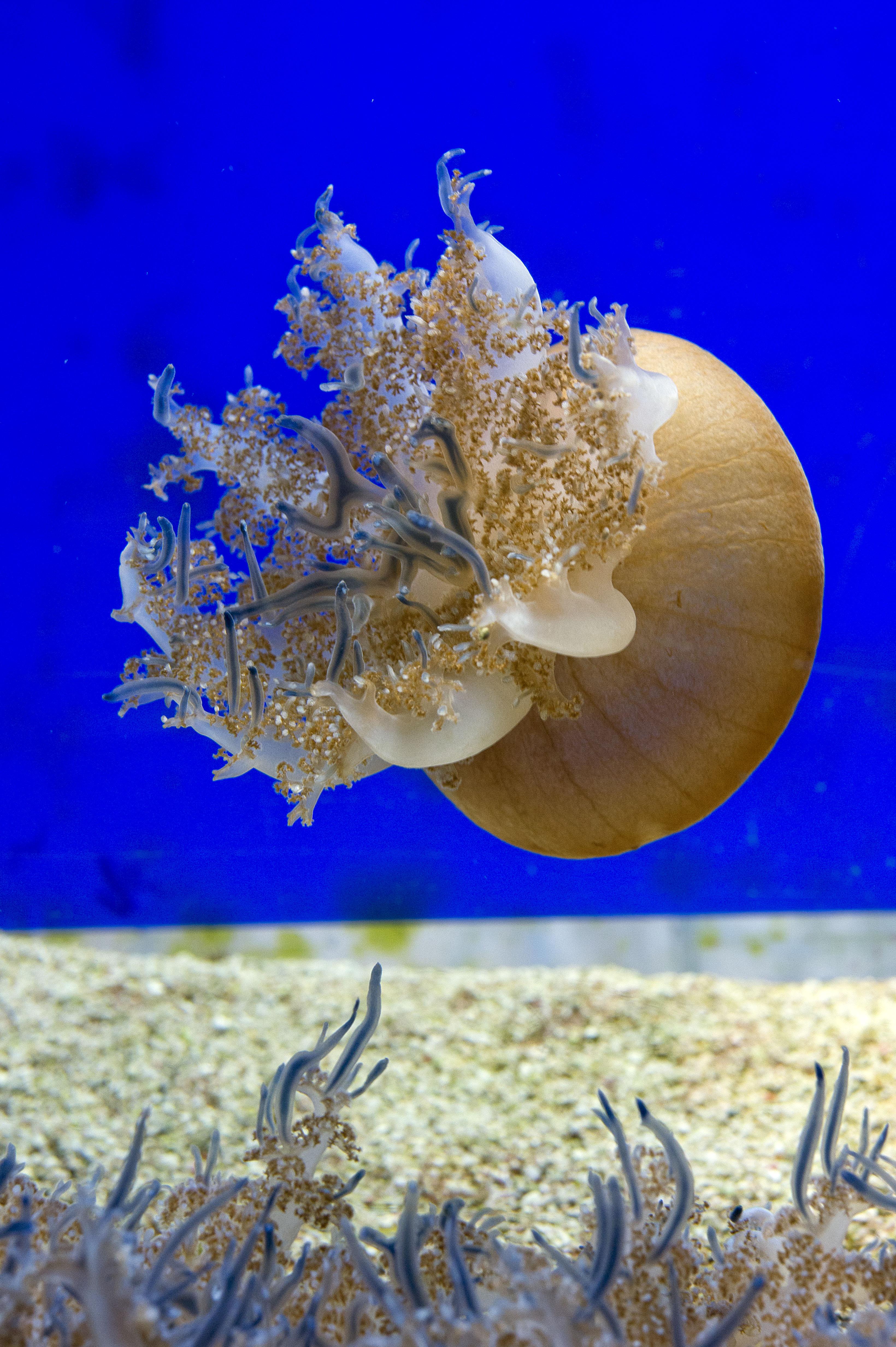 Méduse cassiopée