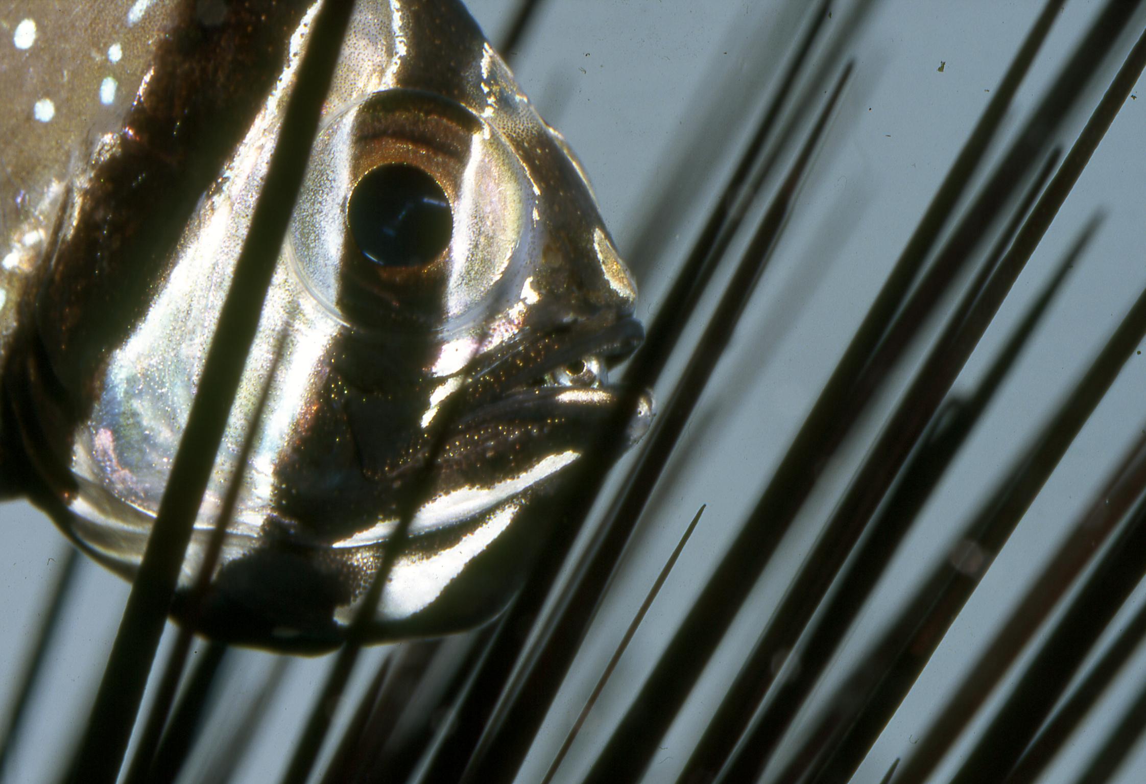 Pterapogon kauderni incubant