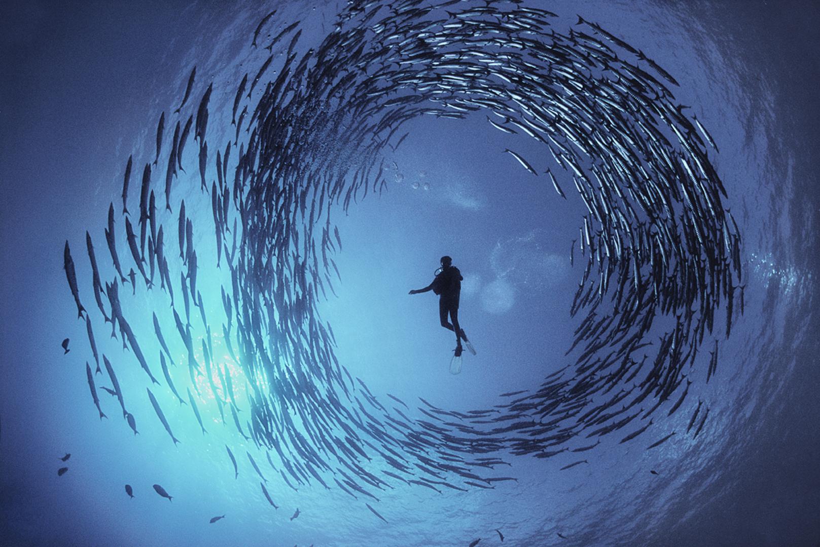 Cercle de barracudas. Un banc de barracudas forme un cercle quasiment parfait autour du plongeur Dinah Halstead en Papouasie-Nouvelle-Guinée. Les barracudas forment souvent ces cercles car il s'agit de leur mécanisme de défense contre les prédateurs. Alors que le jour décline, chaque poisson s'en éloigne et commence à chasser dans les récifs voisins. À l'approche du jour, ils se regrouperont de nouveau. C'est un ballet dans la mer.