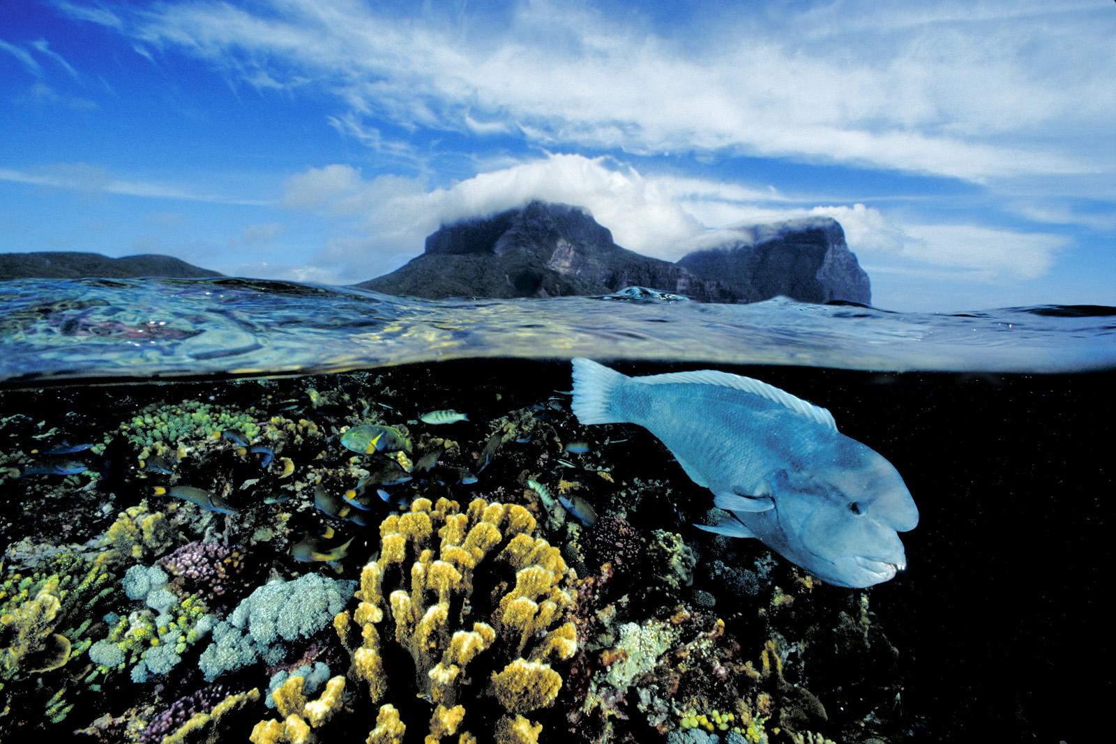 Le clarisse clown.  Un clarisse clown curieux (Coris bulbifrons) patrouille dans les coraux peu profonds du Lagoon Reef à Lorde Howe Island (Nouvelle-Galles-du-Sud, Australie). Cette espèce a un régime alimentaire composé d'invertébrés, une longue durée de vie, et arrive à maturité tardivement. Les récifs de Lord Howe sont les récifs coralliens les plus au sud du monde.