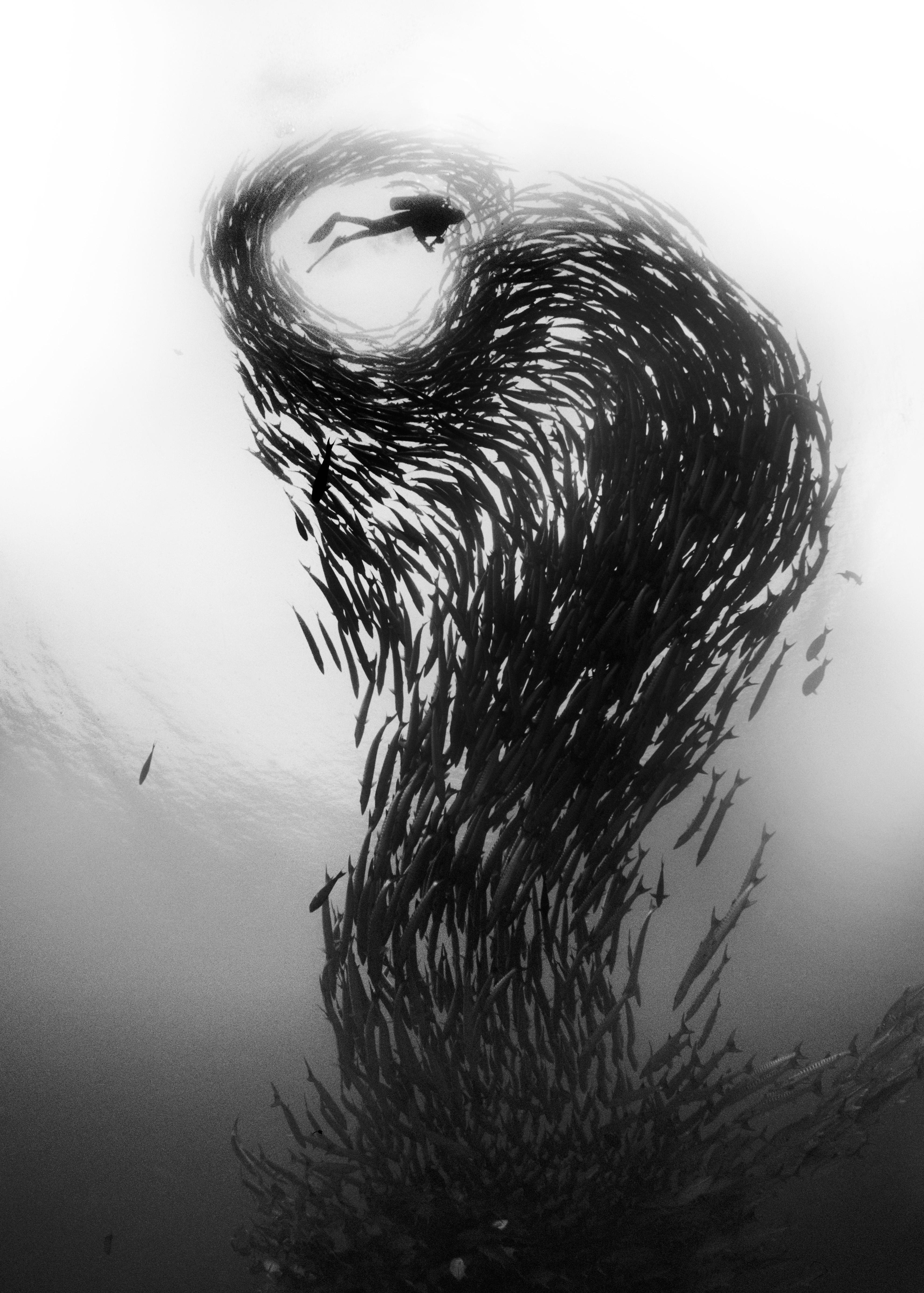 Tour de barracudas. Une tour de barracudas (Sphyraena genie) en forme de chevrons s'élève du fond pour entourer un plongeur dans une formation qui ressemble à un point d'exclamation au large de l'île de Sipadan, en Malaise. Les barracudas sont sociables et ils forment des bancs pendant la journée pour se défendre contre les prédateurs. À la tombée du jour, le banc se dissout et chacun d'entre eux parcourt les récifs en quête de nourriture.