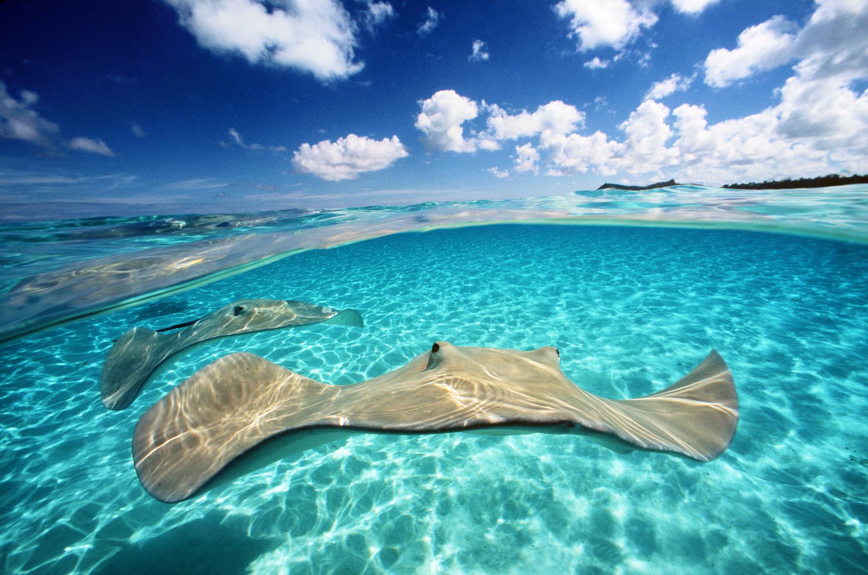 Ambassadeurs de l'océan. Les raies accueillent des plongeurs dans le lagon aux eaux cristallines de Bora-Bora, en Polynésie française. Ces charmantes créatures sont devenues des ambassadrices, en promouvant la sensibilisation des océans et leur préservation à chaque rencontre.
