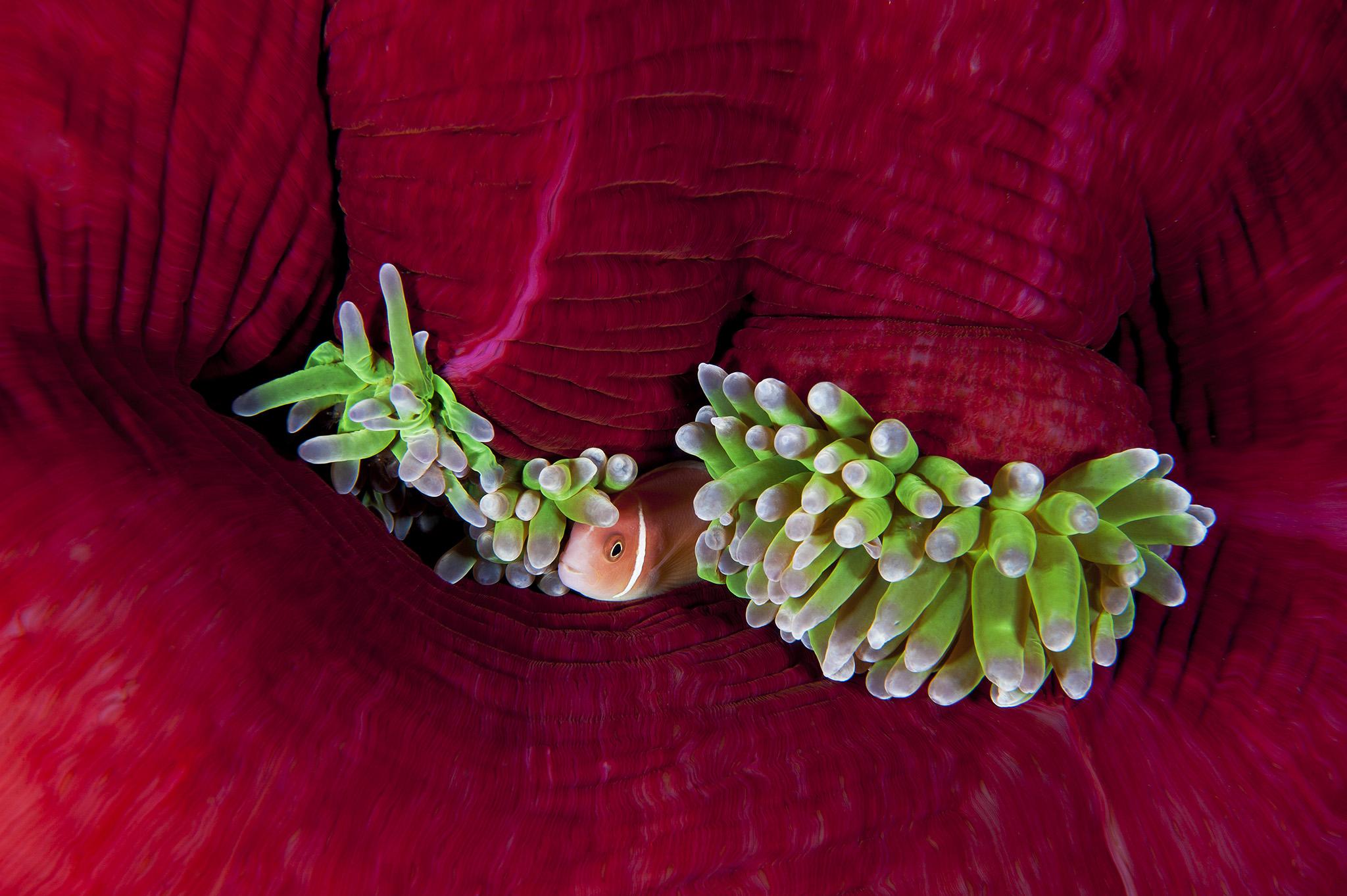 En sécurité. Un poisson-clown rose (anemonefish) jette un coup d'œil au-dehors depuis le refuge de son anémone-hôte tandis que l'obscurité tombe à Joelle's Seamount, dans la baie de Kimbe, en Papouasie-Nouvelle-Guinée. Quand l'anémone commence à s'ouvrir et à exposer ses couleurs brillantes, elle ressemble à un bouquet de fleurs dans la mer.