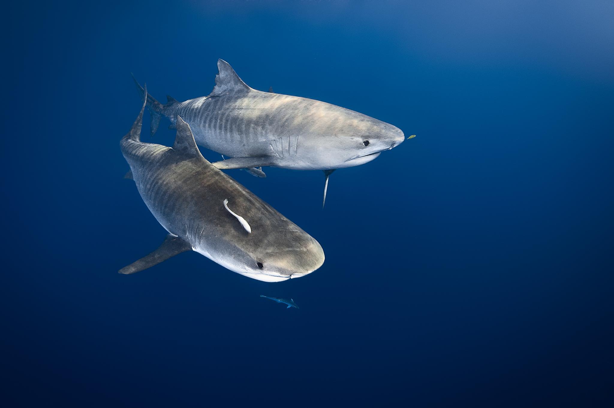 Tigres dans la mer. Les requins-tigres (Galeocerdo cuvier) arrivent de nulle part pour profiter à leur tour des restes d'un grand cachalot dans la Grande Barrière de Corail. Nous avons observé 6 petits requins-tigres se relayer pour se repaître de la carcasse, mais ils se sont retirés dès que deux nouveaux venus, plus massifs, se sont imposés.