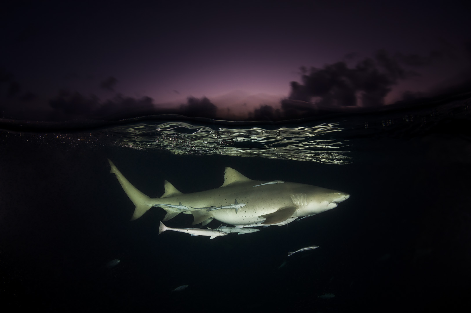 lemon shark on patrol at dusk Bahamas