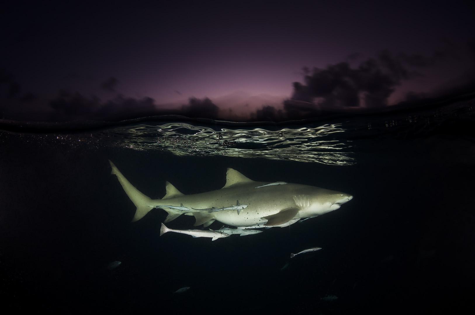 Sanctuaire des requins. Un requin-citron (Negaprion brevirostris) patrouille lentement sous la surface et sous un ciel rose dans les Bahamas. Véritable destination populaire pour voir et découvrir les requins, les Bahamas sont devenues un sanctuaire pour ces espèces en 2011. Cette initiative donne un exemple positif en matière de préservation des requins.