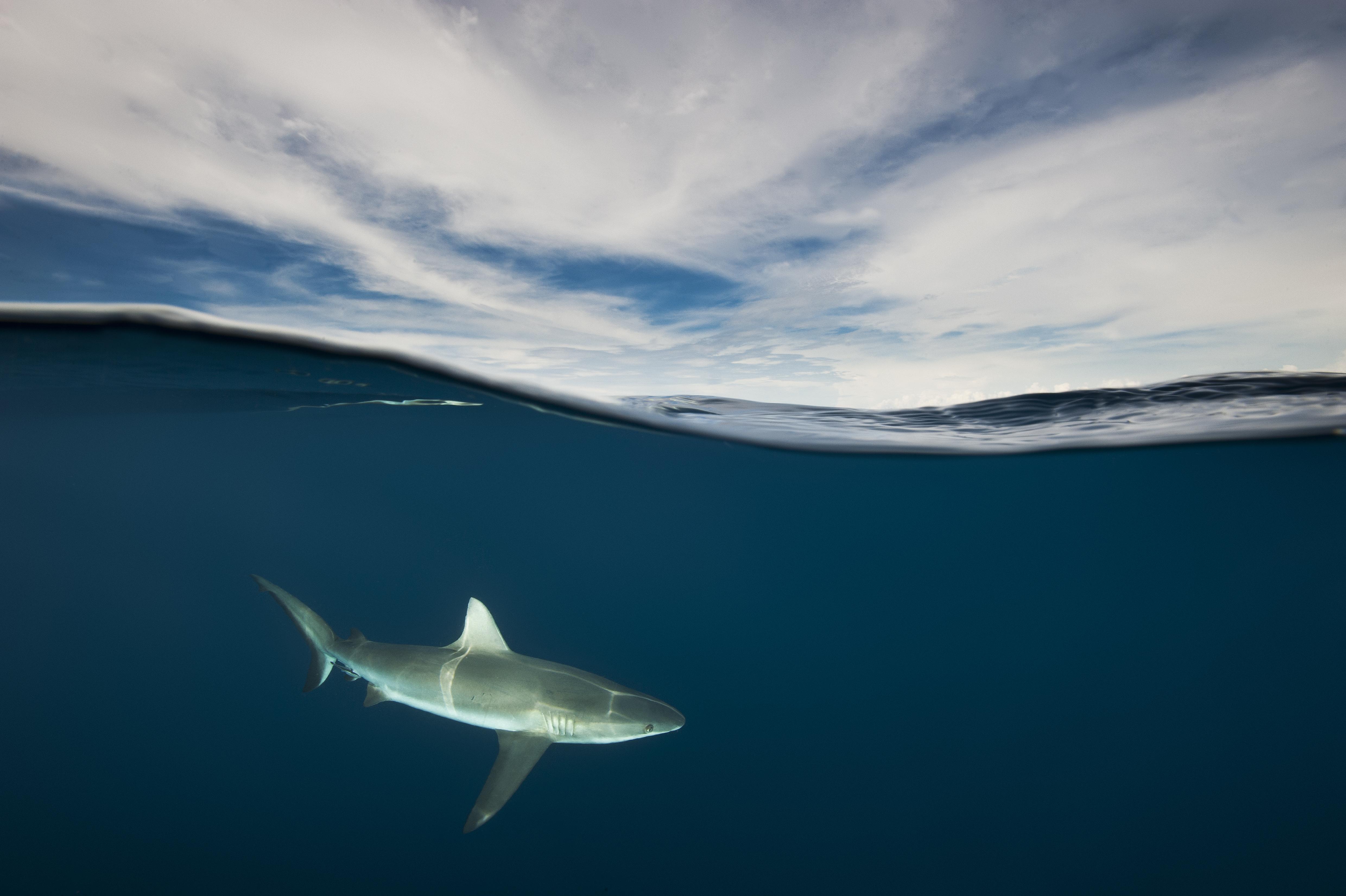Requin et ciel. Les lumières de la mi-journée dansent sur un requin gris de récifs qui passait lentement pendant que nous remontions à la surface lors de notre plongée dans la baie de Kimbe, en Papouasie-Nouvelle-Guinée. Chassés pour la soupe d'ailerons, ils sont devenus extrêmement rares, le croiser était un signe encourageant. Jusqu'à 90 % des espèces ont disparu de nos océans. Les requins sont essentiels aux écosystèmes marins et un indicateur de la santé globale des récifs.