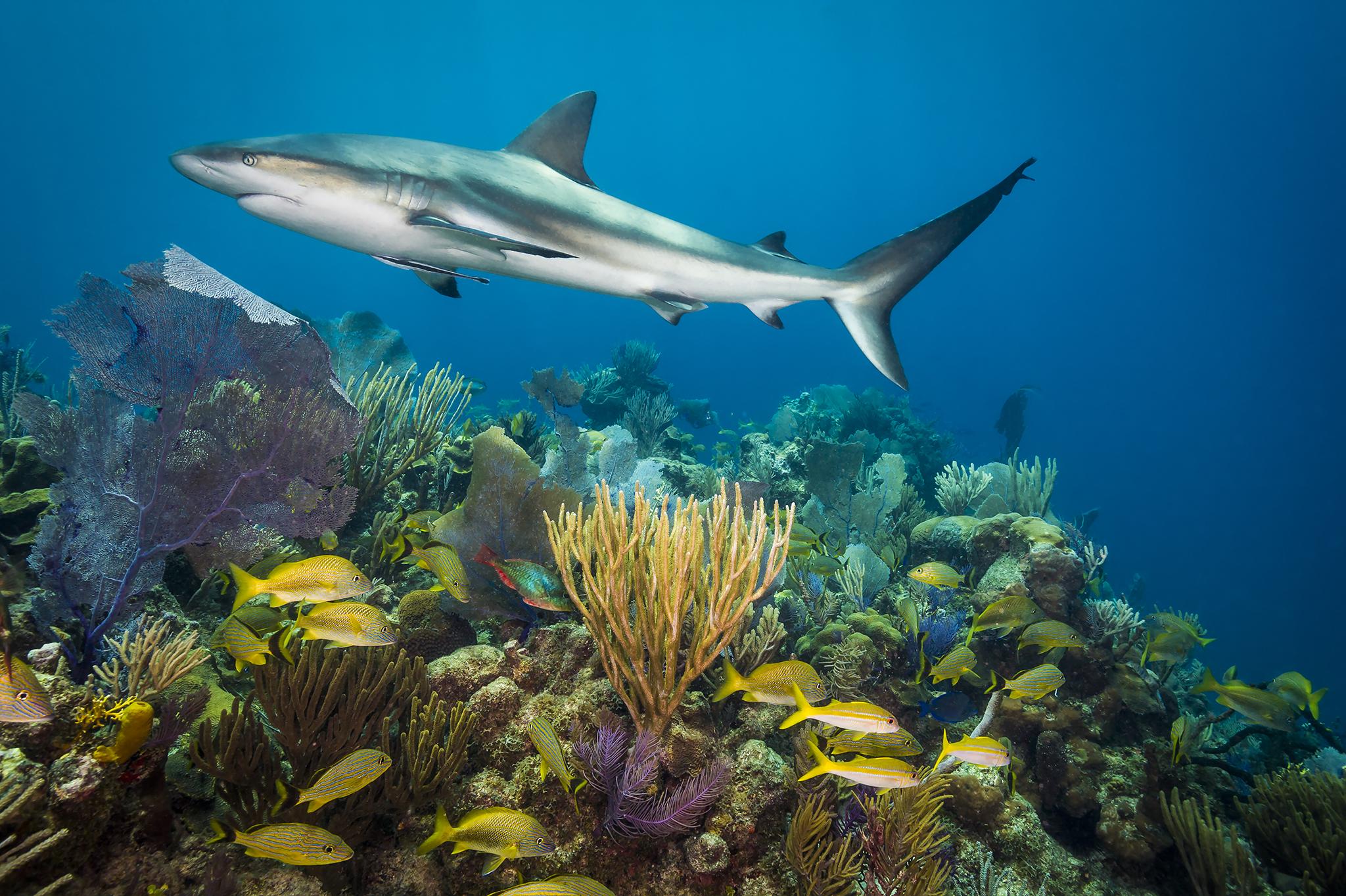 Requin et corail. Un requin des récifs des Caraïbes glisse au-dessus de coraux en bonne santé dans les Jardins de la Reine à Cuba. Un sanctuaire marin national dédié protège fermement ces récifs contre la pêche intensive. Ils ont d'ailleurs une chaîne alimentaire intacte, de la proie au prédateur. La présence du requin est synonyme d'un écosystème sain.
