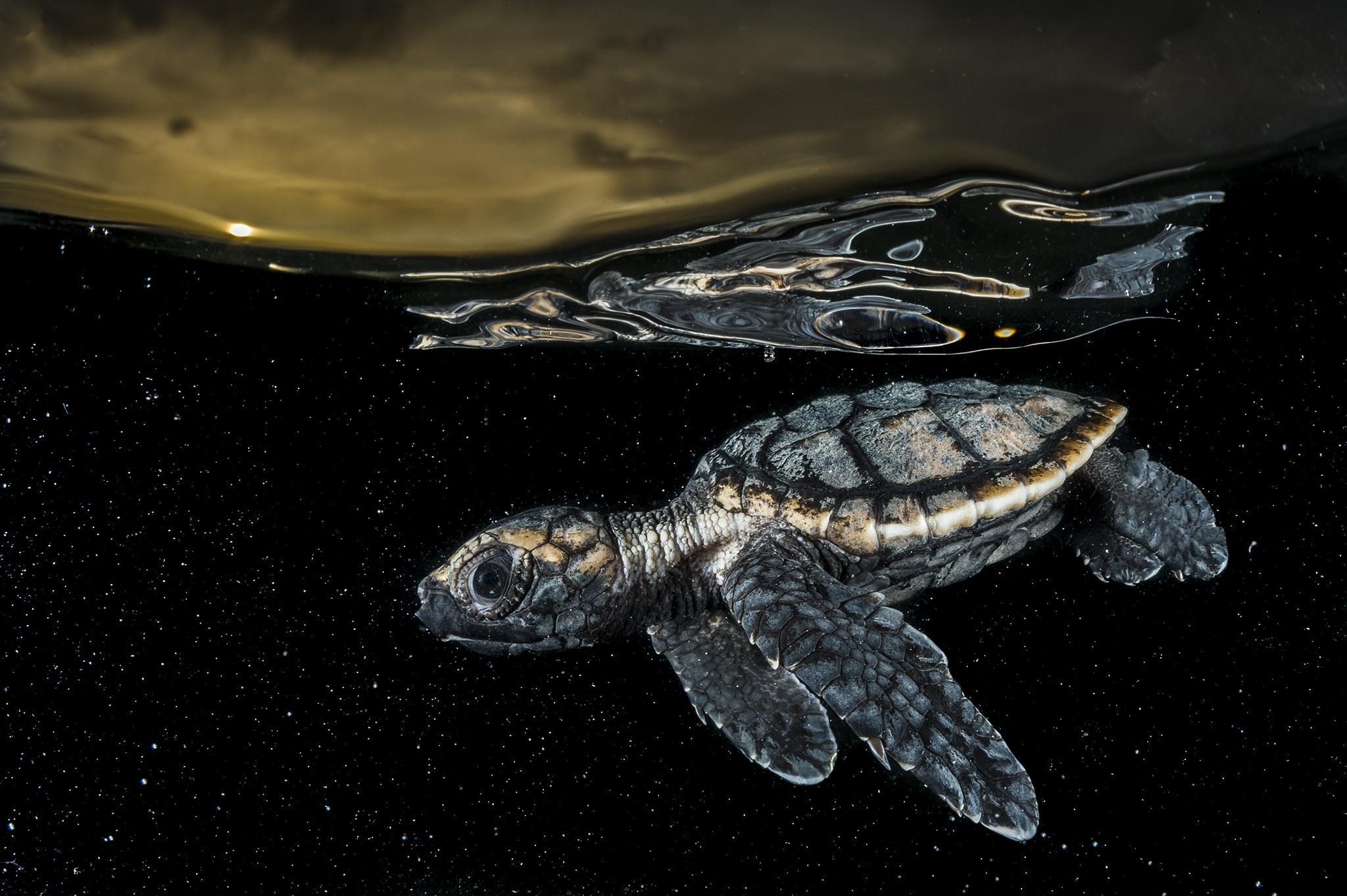 Nage au large. Une tortue caouanne juvénile (Caretta caretta) nage dans la mer tandis que l'obscurité descend dans les Jardins de la Reine à Cuba. Le nouveau-né est vulnérable de dessous et de dessus et il doit trouver le moyen de survivre et d'atteindre une taille qui découragera les prédateurs.