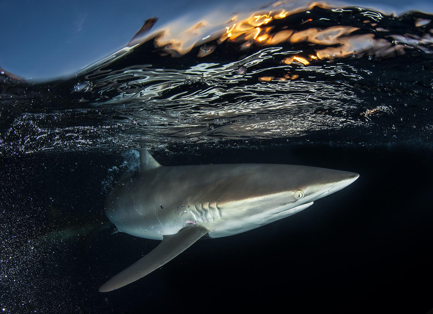 La couleur du coucher de soleil. Une vague cristalline d'or se brise au-dessus d'un requin soyeux (Carcharhinus falciformis) dans les Jardins de la Reine à Cuba. Le sanctuaire marin national, situé à cinquante miles de la côte sud de Cuba, est un modèle de préservation dans les Caraïbes où les récifs fleurissent en soutenant un écosystème intact de la proie au prédateur.