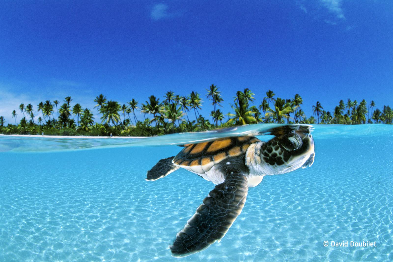 Le nouveau-né. Une jeune tortue verte nage vers la sécurité du large le long de l'atoll Nengonengo dans l'archipel des Tuamotu en Polynésie française. Les tortues vertes sont classées dans la liste des espèces menacées de l'IUCN. Six espèces de tortues sur sept sont d'ailleurs classées comme menacées, en danger ou en danger critique, en raison de la chasse, la capture accidentelle dans les filets de pêche, la pollution et le changement climatique. Les effets de ce dernier entraînent la hausse du niveau des mers, provoquant l'inondation des nids et l'élévation de la température du sable qui impacte la proportion de tortues mâles par rapport aux femelles. En effet, des températures plus élevées produiront moins de mâles.