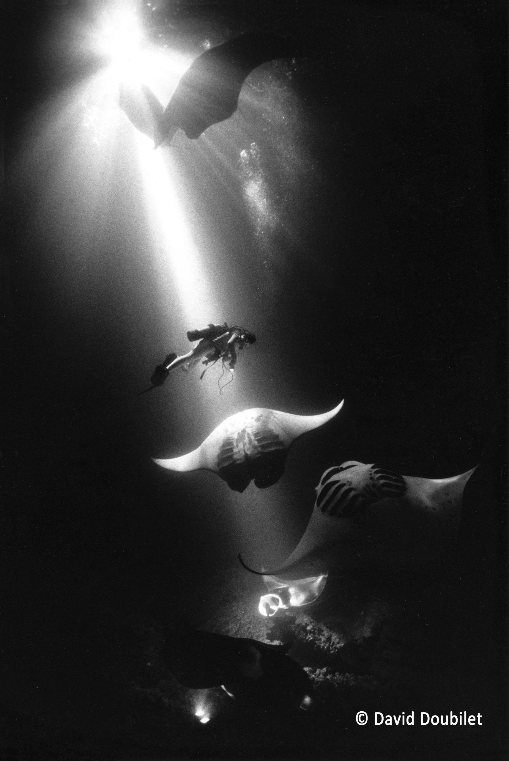 Ballet de raies Manta. Les raies Manta se nourrissent la nuit le long de Kona, à Hawaï. De puissantes lampes HMI créent des rayons de lumière qui attirent des hordes de plancton, attirant à leur tour les raies Manta. Ces gracieuses créatures s'élèvent et tournoient dans le faisceau créé par les lampes, comme dans un ballet, tandis qu'elles se nourrissent de cette galaxie de vie microscopique.