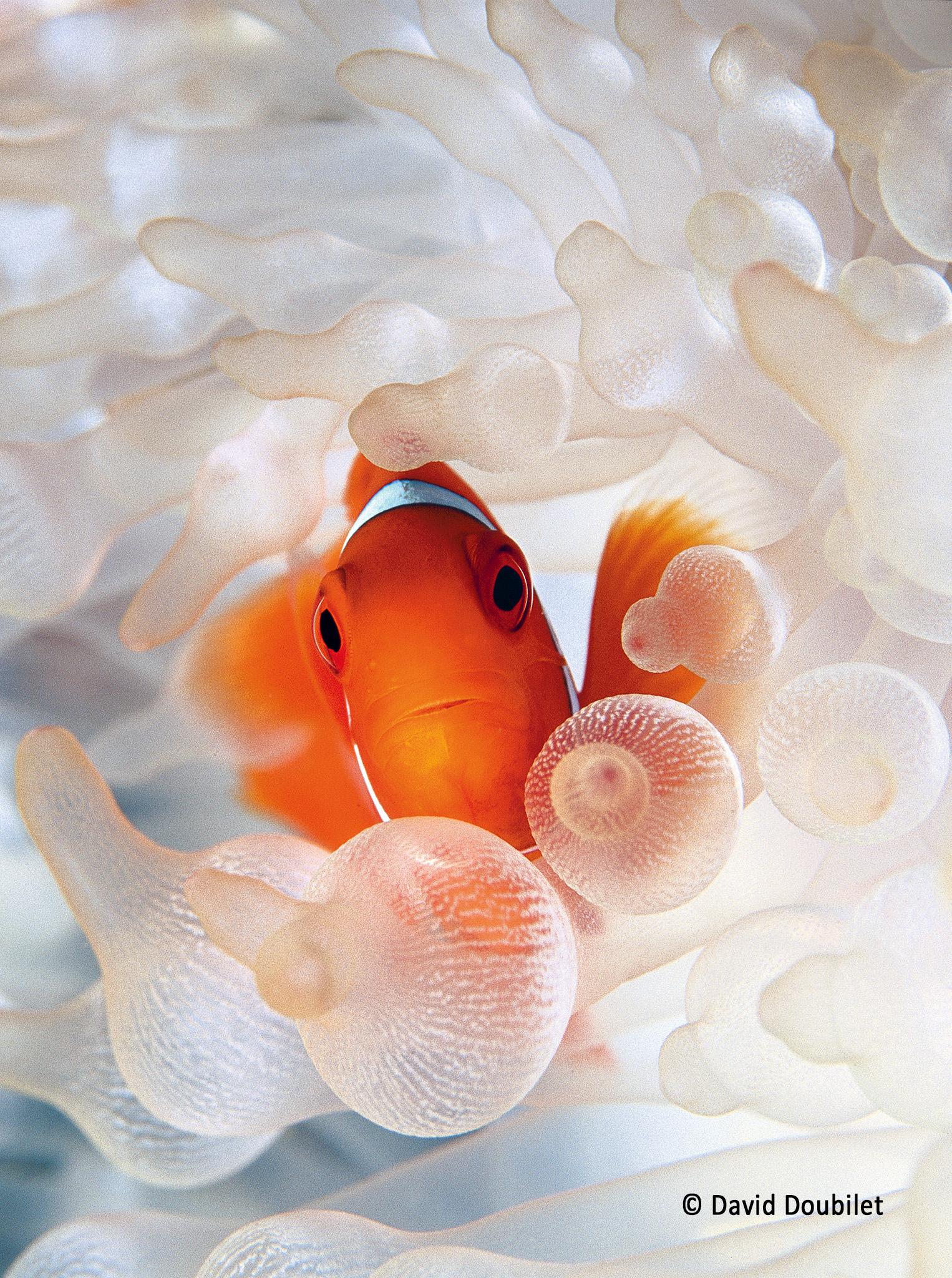 Portrait d'un clown. Un poisson-clown à joues épineuses (Premnas biaculeatus) cherche une protection parmi les tentacules de son anémone-hôte, dans la baie de Kimbe, en Papouasie-Nouvelle-Guinée. De manière unique, ce poisson-clown est immunisé contre les tentacules toxiques et il protège agressivement l'anémone de ses prédateurs. En échange, l'anémone lui fournit un refuge aux différents stades de sa vie (adulte, juvénile, œufs). L'anémone est d'un blanc brillant car elle a perdu son algue symbiotique en raison de la hausse de la température de l'eau.