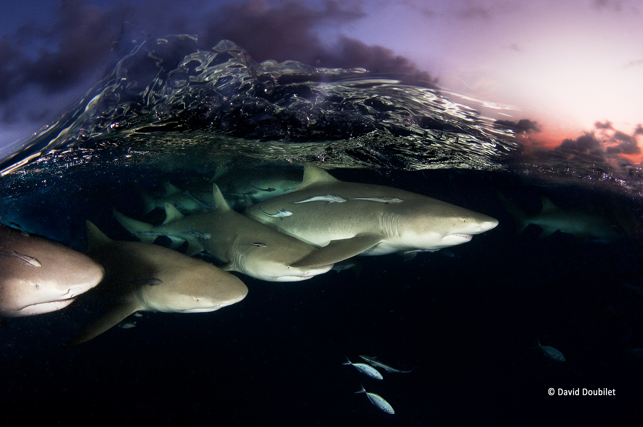 Requins au crépuscule. Une vague de cristal se brise sur un escadron de requins-citrons qui parcourent la mer au crépuscule près des rives des Bahamas. Connues pour l'écotourisme auprès des requins, les Bahamas sont devenues un sanctuaire dédié à ces espèces en 2011.