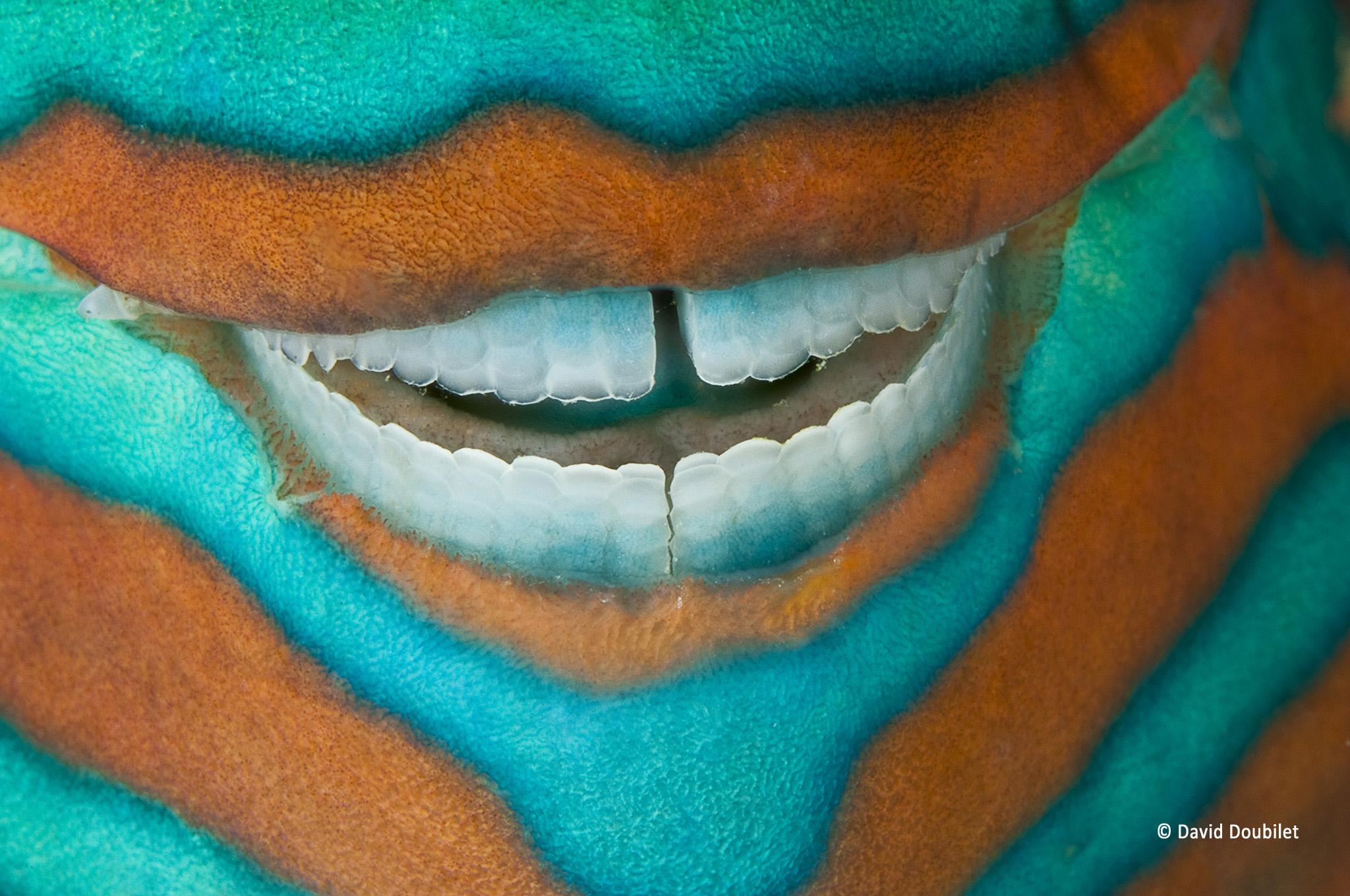 Sourire du poisson-perroquet. Un poisson-perroquet (Scarus frenatus) dormant sous le rebord d'un récif corallien au large de l'Île Heron, dans la Grande Barrière de Corail, révèle une dentition parfaite et puissante qu'il utilise pour gratter et broyer le corail afin d'obtenir les nutriments des algues.