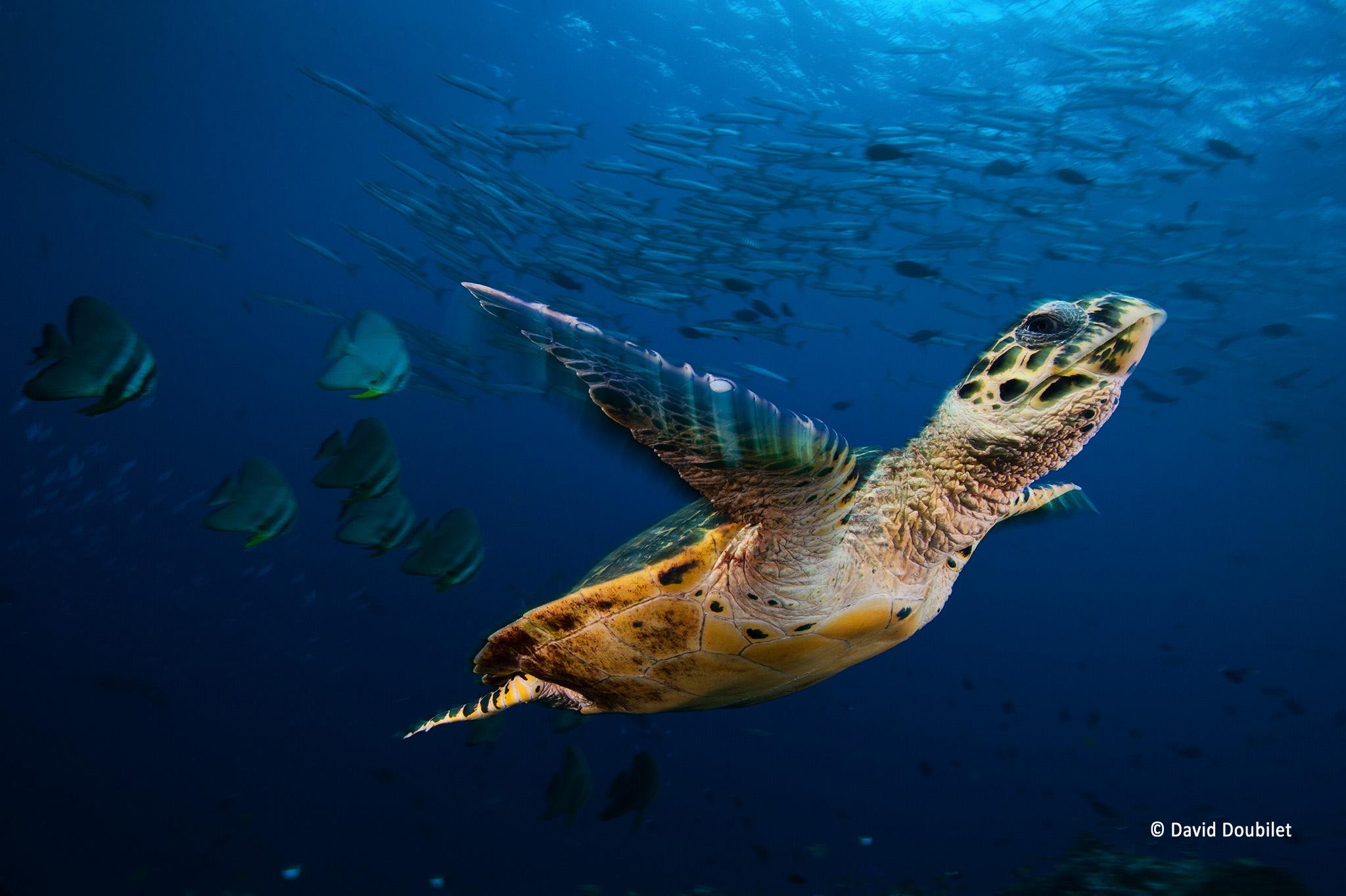 Tortue imbriquée qui s'envole. Une tortue imbriquée (Eretmochelys imbricata) s'envole dans une mer animée dans la baie de Kimbe, en Papouasie-Nouvelle-Guinée. Cette tortue marine nous a accueillis sous le bateau à chaque plongée et elle est restée avec notre équipe jusqu'à ce que nous manquions d'air. Face à sa curiosité et son absence de peur, nous nous sommes inquiétés pour sa sécurité. Nous l'avons quittée en espérant qu'elle ne rencontre pas de bateau de pêche et qu'elle ne soit pas capturée.