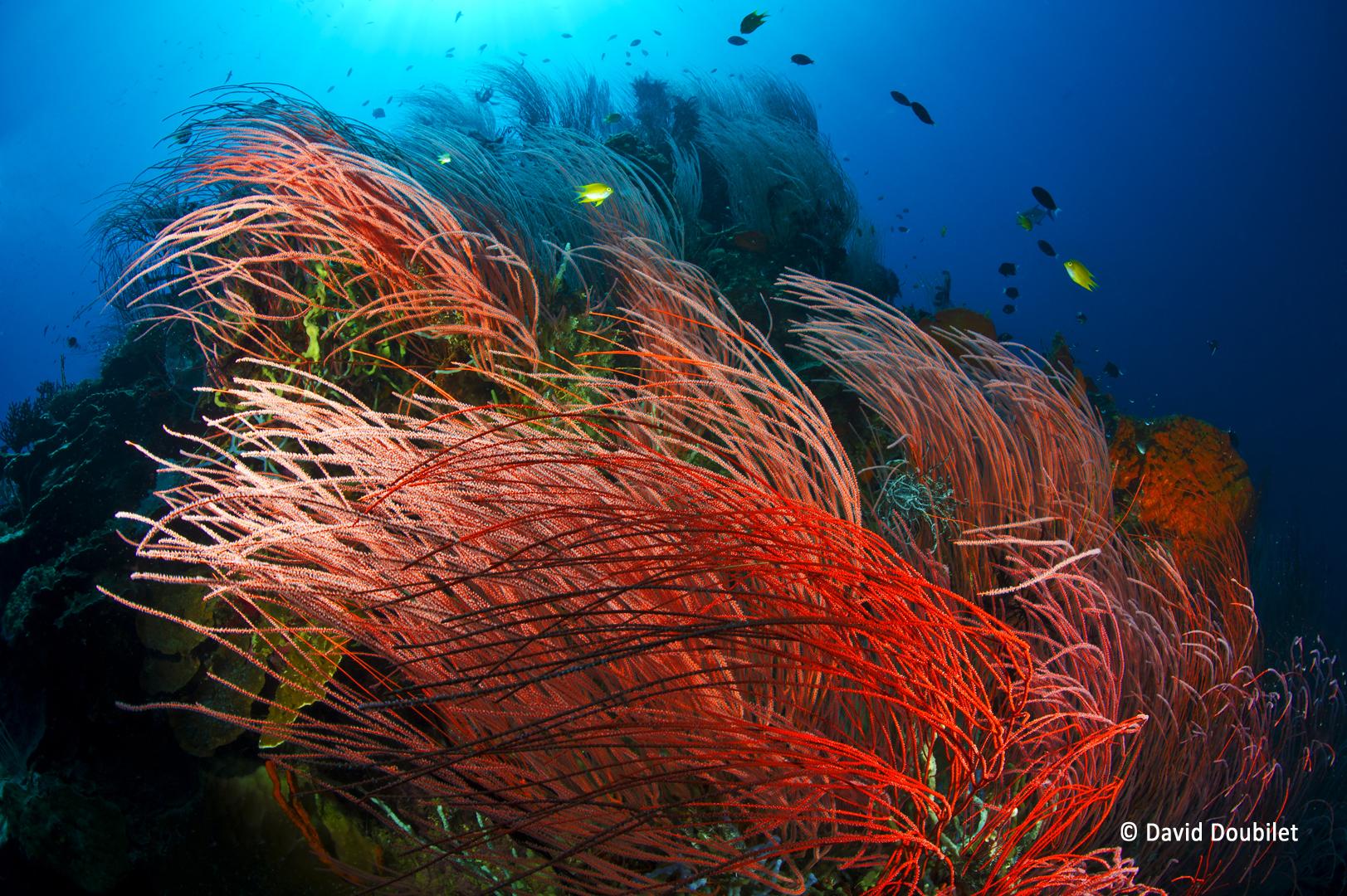 Récif de Susan. Des forêts épaisses de coraux-fouets rouges poussent sur les pentes côtières du récif de Susan dans la baie de Kimbe, en Papouasie-Nouvelle-Guinée. Les fouets rouges bougent dans le courant comme un champ de blé dans le vent.