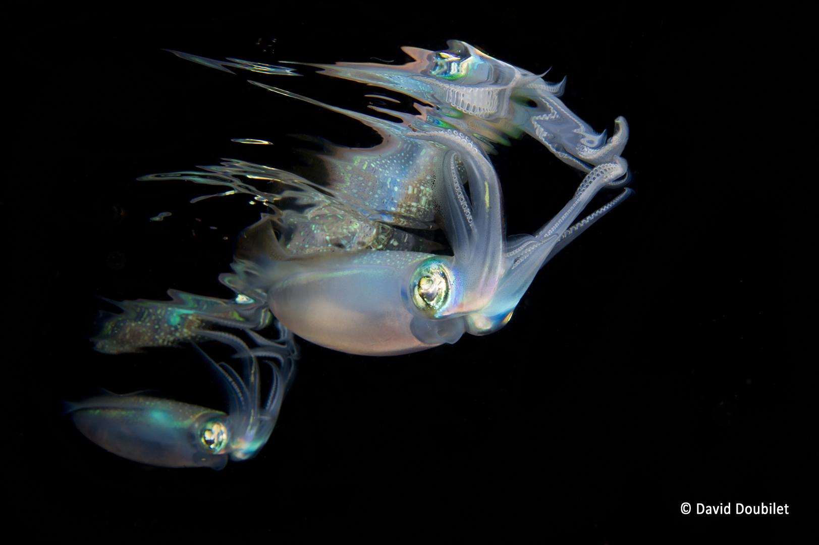 Réalité ou reflet. Deux calamars de récifs patrouillent sous la surface de la mer dans la baie de Kimbe, en Papouasie-Nouvelle-Guinée. Comme un miroir, le reflet de leur image confond leur proie. Où est la réalité ? Où est le reflet ?