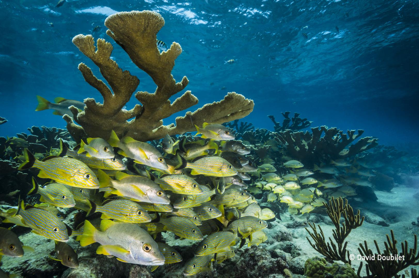 Une capsule temporelle. Les poissons des récifs s'empilent dans les larges branches protectrices du corail Elkhorn. Ces espèces de coraux ont disparu dans leur forme d'origine dans les Caraïbes, mais elles fleurissent dans les récifs protégés des Jardins de la Reine à Cuba. Plonger dans ce sanctuaire marin national, c'est comme être dans une capsule temporelle.