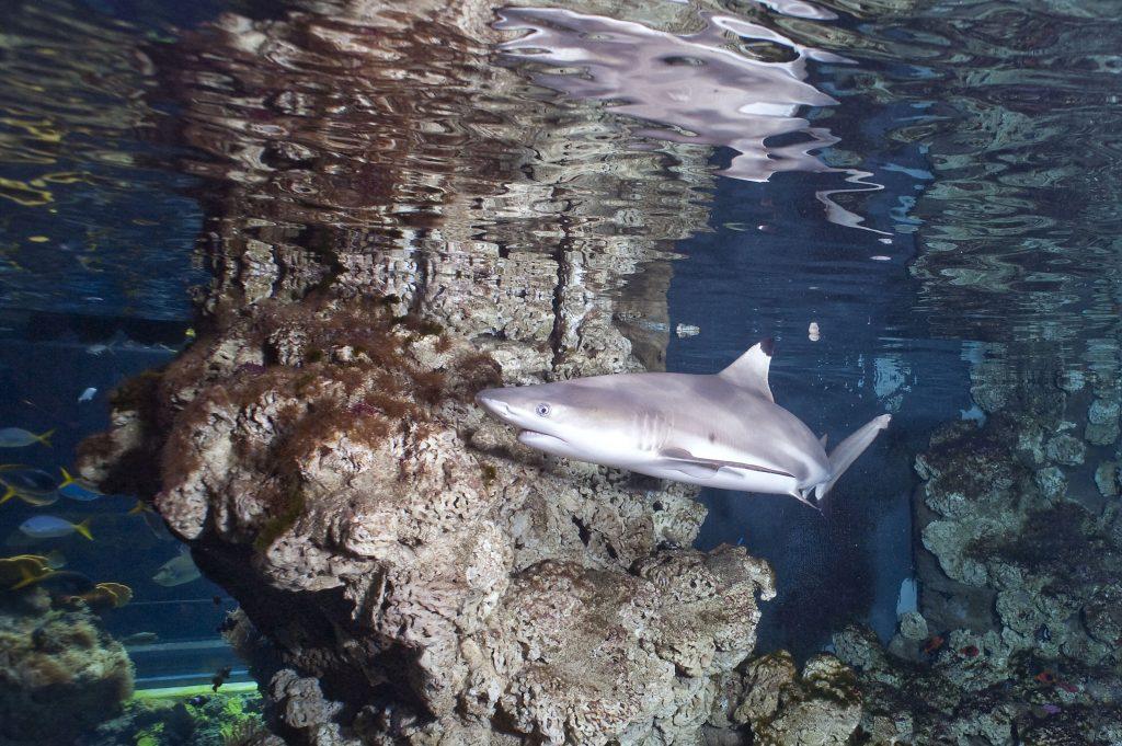 08 Requin à pointes noires Carcharhinus melanopterus M. Dagnino