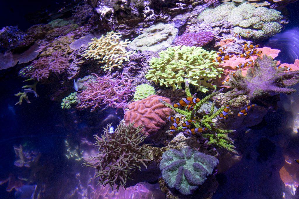 Une espèce animale, bien souvent oubliée parce que discrète et immuable, peuple les fonds marins, servant tout à la fois de décor élégant à ce monde du silence et d'habitat naturel aux microalgues : LE CORAIL   Doté d'un pouvoir surprenant, le corail est à l'origine de phénomènes lumineux bien mystérieux... Une multitude d'espèces coralliennes ont la capacité de fluorescer et offrent ainsi un véritable spectacle polychrome à la faune qui les entoure !   Pour permettre au plus grand nombre de découvrir et profiter de ce tableau aux tonalités presque irréelles, le Musée océanographique de Monaco inaugure le 6 mars un tout nouvel espace de découverte, où petits et grands auront la chance de réaliser une plongée de nuit, sans se mouiller, à la découverte des coraux fluorescents !   Dans une ambiance nocturne, les curieux prennent place autour d'un bassin tropical de 5.000 litres dominé par quatres plongeurs suspendus, comme flottant dans l'eau, tenant entre leurs mains les lumières révélateurs de couleurs.   Les coraux, Montipora rose, Blastomusa, Briareum, Galaxea et Echinopora sont au générique de cette représentation inédite : mis en valeur comme des joyaux dans leur écrin, ces coraux principalement issus de la zone Indo-Pacifique révèlent des nuances inattendues au pouvoir captivant.
