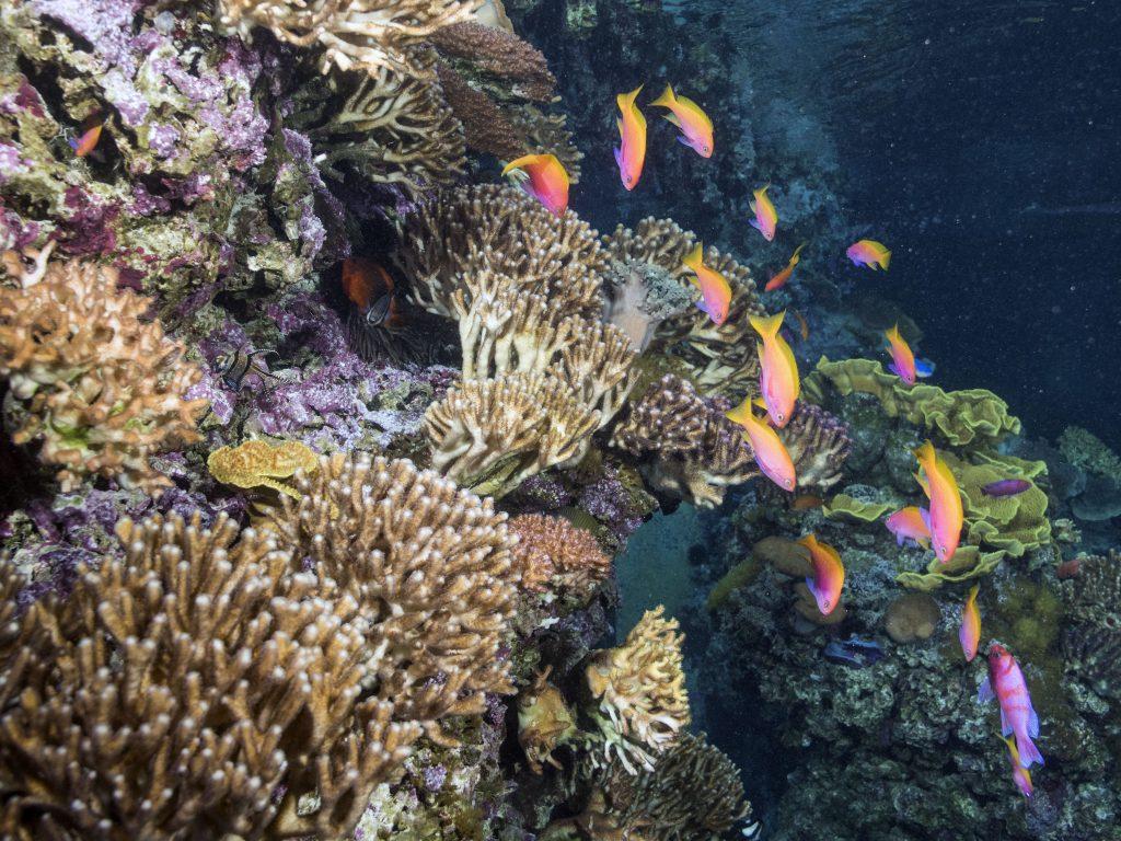 Articulée autour d'un grand bac de 450.000 litres d'eau, qui reconstitue fidèlement un écosystème corallien vivant, la zone tropicale vous dévoile la vie mouvementée du récif et de ses habitants. Des formes et des couleurs enchanteresses !Le récif corallien est le théâtre d'une vie foisonnante. Une multitude d'espèces s'y côtoient et s'associent pour se protéger, éliminer des parasites ou s'alimenter. Un comportement instinctif que nos pensionnaires reproduisent dans nos bassins, où ils évoluent en harmonie dans un milieu similaire à leur environnement naturel.De l'algue microscopique au grand prédateur, chacun joue son rôle et contribue à l'équilibre de l'écosystème. Venez observer le redoutable poisson-pierre aux aiguillons mortels, les poissons rasoirs, les poissons clown cachés dans leurs anémones, l'attachant poisson-coffre jaune ou encore l'inquiétante murène. Un spectacle permanent !