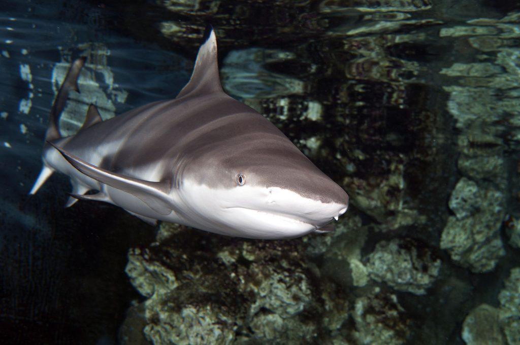 24_Requin-à-pointes-noires-Carcharhinus-melanopterus_M_Dagnino