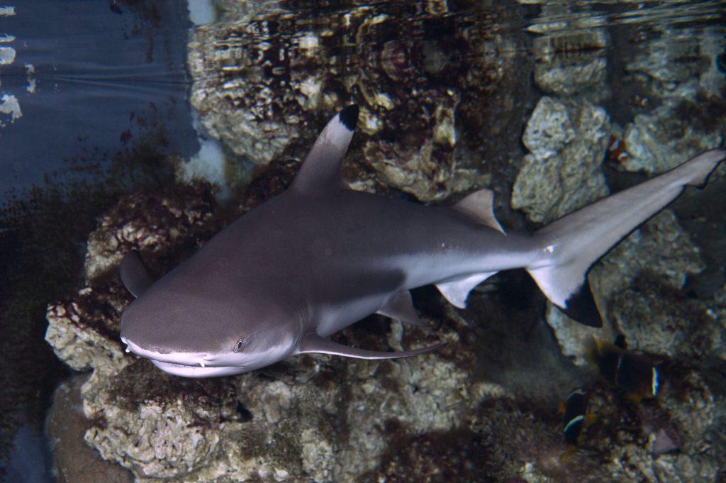 27_Requin-à-pointes-noires-Carcharhinus-melanopterus_M_Dagnino