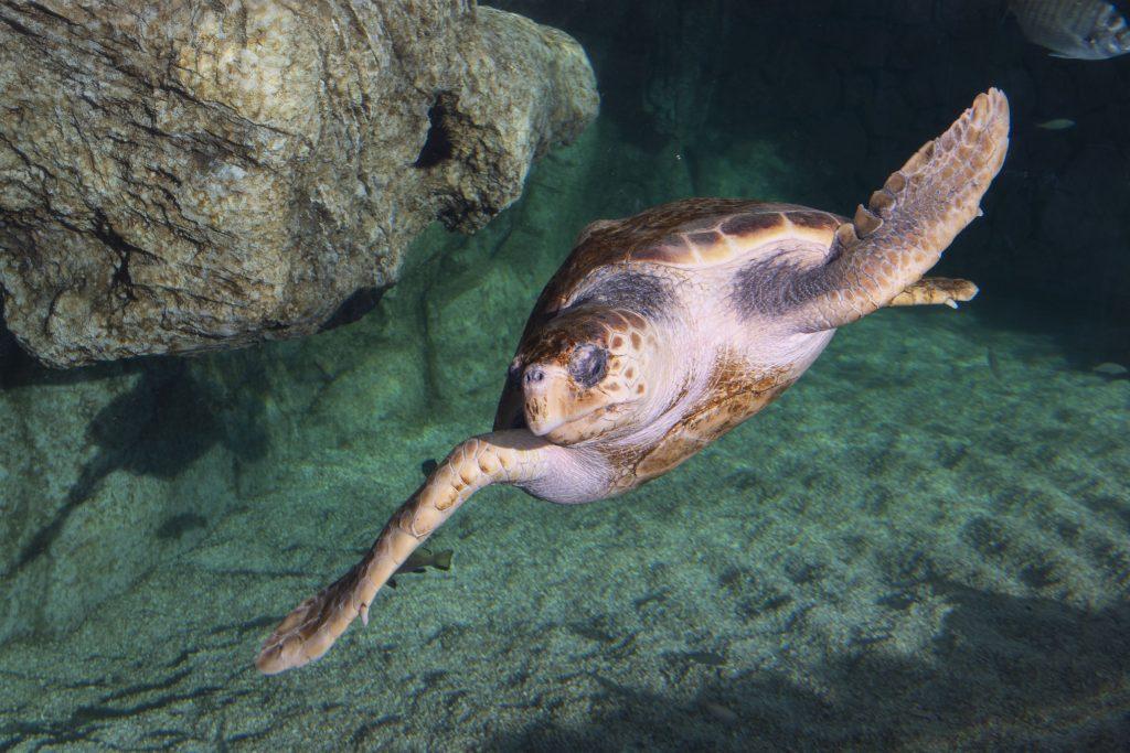 Le centre de soin sera un espace de médiation environnementale Les tortues, baromètres de l'état de santé des océans subissent la plupart des pressions que l'homme exerce sur l'océan, des côtes à la haute mer : urbanisation, surpêche et prises accidentelles, collisions, pollutions ou encore accumulation de plastique. Le destin des tortues est entre nos mains Les tortues ont été capables de s'adapter à des évolutions importantes du climat et des milieux marin et côtier depuis 150 millions d'années. Aujourd'hui, nous imposons des changements bien plus rapides et leur sort dépendra de notre capacité à leur laisser une place sur les côtes et à gérer nos activités pour préserver l'océan. Le centre de soins S'appuie sur l'expérience du Musée océanographique pour secourir, soigner et relâcher les tortues marines, il permettra de développer notre capacité d'intervention, en appui avec les services locaux (affaires maritimes, capitainerie, pompiers…) Et s'inscrit dans un réseau méditerranéen de soin des tortues, en partenariat avec le Réseau Tortues de la Méditerranée Française, le Centre d'études et de sauvegarde des tortues marines de Méditerranée.  Réalisé dans le prolongement du Musée, en bordure des Jardins St Martin, ce centre sera central pour venir au secours de tortues blessées à Monaco et dans la région. Si le chantier se déroule comme prévu, ce centre pourra ouvrir dès 2018. Il sera composé d'une clinique de soins et d'un bassin de convalescence. Ce dernier, situé en plein air, sera intégré dans la visite du Musée. Tout en permettant aux tortues soignées de se remettre en toute tranquilité et sous étroite surveillance, les visiteurs pourront observer ces animaux et ainsi être sensibilisés à leur fragilité.  Véritable outil d'animation et de médiation, la clinique et le grand bac à tortues seront utilisés pour inciter les visiteurs du Musée à agir concrètement, dans leur q