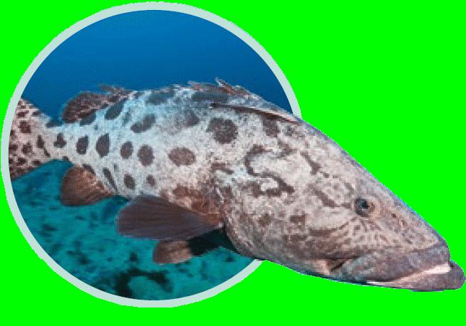 Mérou Patate - Immersion - Musée océanographique de Monaco
