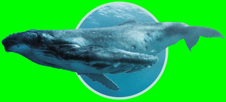 Baleine à bosse - Immersion - Musée océanographique de Monaco