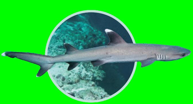 Requin corail - Immersion - Musée océanographique de Monaco