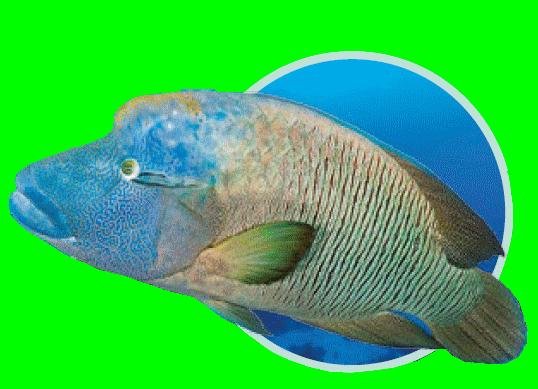 poisson napoléon - Immersion - Musée océanographique de Monaco