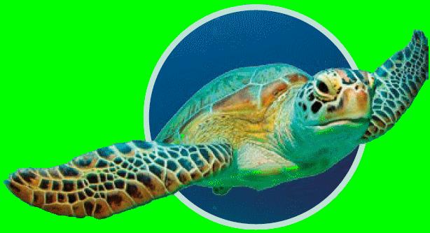 tortue verte - Immersion - Musée océanographique de Monaco